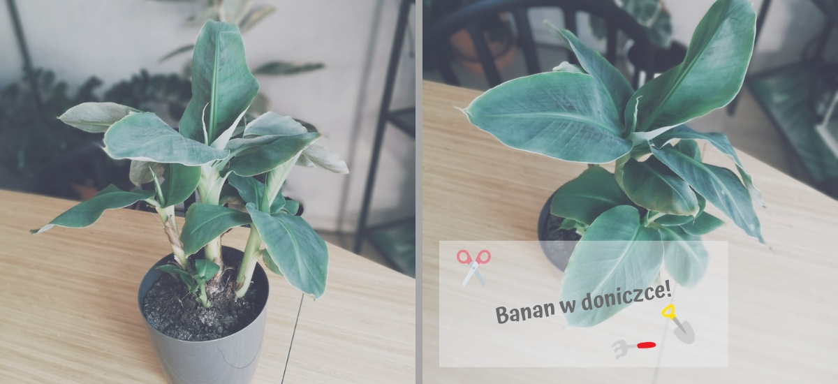A to ci… banan w doniczce!